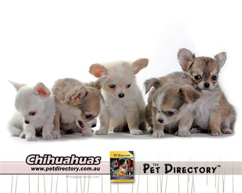 teacup pomeranian mix how to sheer a hair chihuahua hairstylegalleries