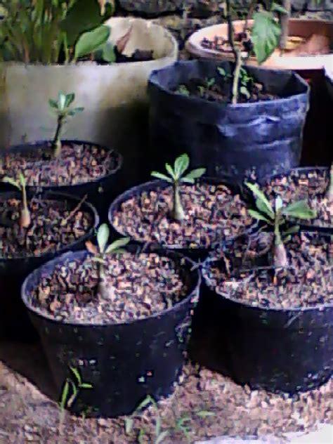 Bibit Adenium Bunga Putih cara menanam bibit bunga tanamanbaru