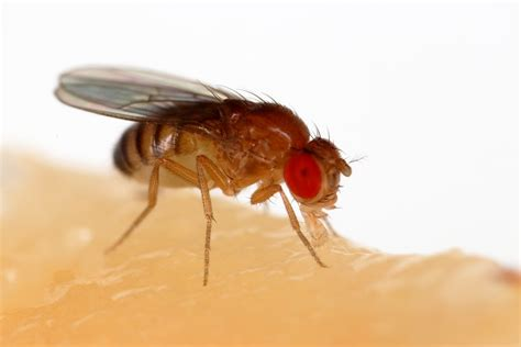 fruit flies drosophila melanogaster