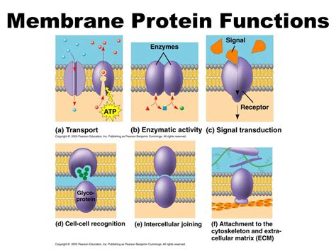 membrane proteins   functions
