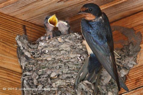 weekend birding barn swallow nestwatch under my apple tree
