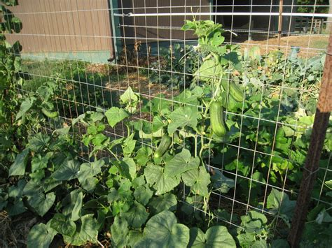 trellis cucumbers maryland grows