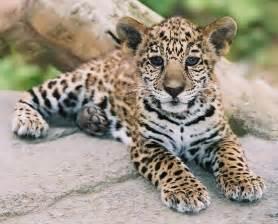 Jaguar Cub Jaguar Cub Photography
