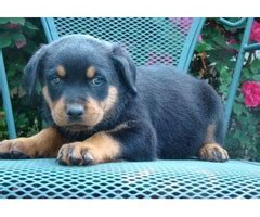 rottweiler puppies for sale in ohio 300 dollars four golden retriever puppies for sale animals clayton ohio announcement