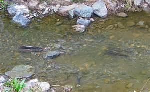 Pairs adult steelhead trout and 2 redds march 2013 stevens creek jpg