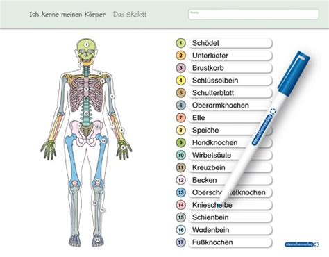 die inneren organe des menschen ich kenne meinen k 246 rper das skelett 183 sternchenverlag