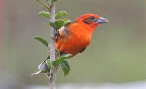 colored tanager birds of the world cardinals