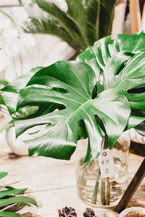Monstera Pot Dan Daun Hijau monstera deliciosa tanaman dari amerika selatan