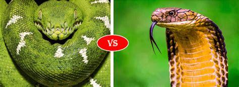 king cobra  green anaconda fight comparison   win