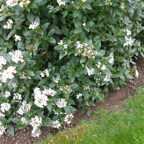 Glow In The Dark Plants by Viburnum Tinus Hedge Plants Viburnum Tinus Eve Price