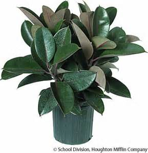 rubber plant dictionary definition rubber plant defined