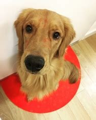 golden retriever for sale in nj view ad golden retriever puppy for sale new jersey harrison usa