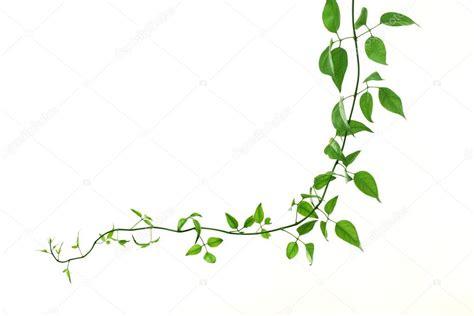 imagenes sin fondo blanco corel enredadera verde sobre un fondo blanco foto de stock