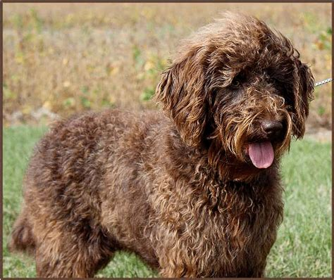 chocolate labradoodle puppies for sale labradoodle haircut styles chocolate labradoodle haircuts labradoodle puppies for