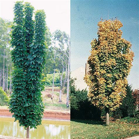thin tree acer platanoides columnar a adaptable narrow