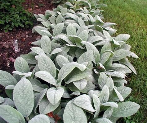 lamb s ear height x width 8 12 quot h x 24 quot w full sun or partial shade silver grey water low