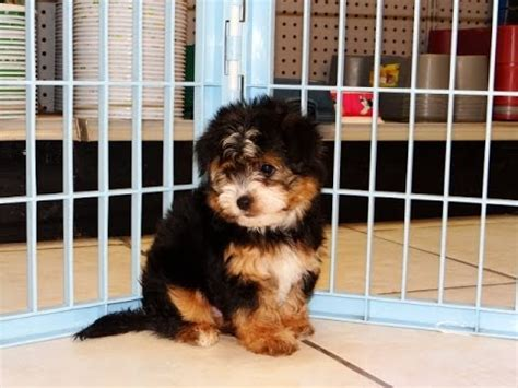 yorkie ton puppies for sale yorkie ton puppies dogs for sale in albany county ga alpharetta