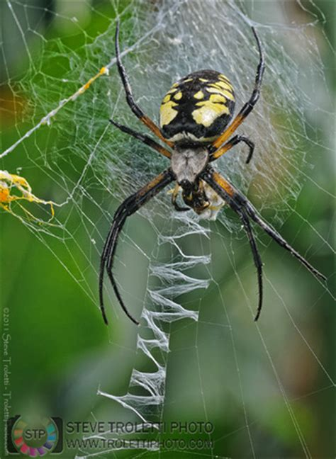 spiders with zig zag pattern on web steve troletti editorial nature and wildlife photographer