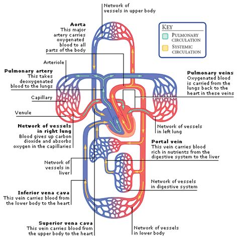 functions of circulation section in library medical encyclopedia function the blood circulation aviva
