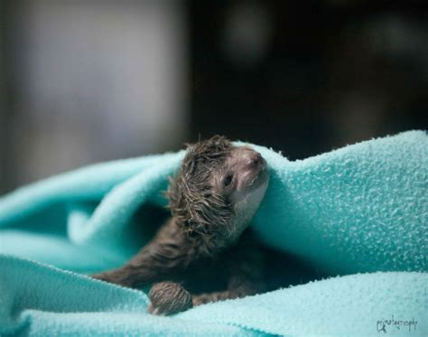 animal c section this newborn baby three toed bradypus variegatus sloth