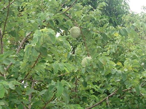 anonas fruit tree panoramio photo of las anonas