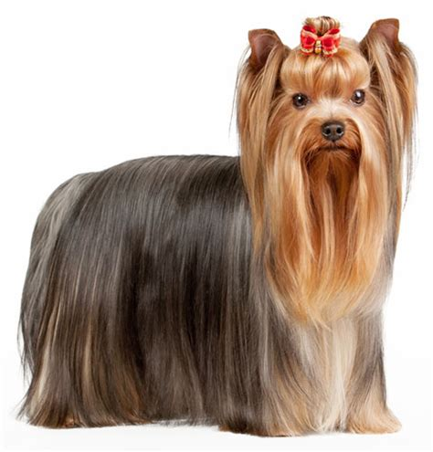 yorkie information and facts terrier information facts pictures and grooming