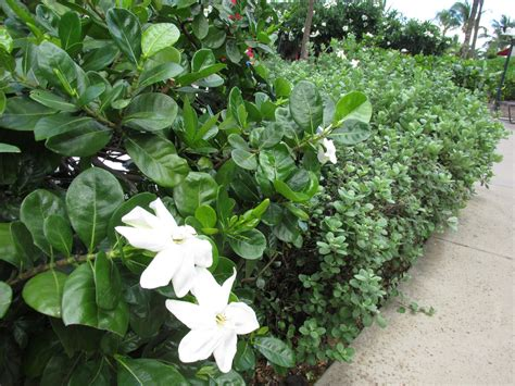 gardenia companion planting   good companion