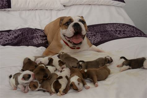 Bulldog Also Search For Juma The Bulldog Gives Birth To 14 Puppies And Is Happy About It Metro News