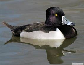 ring necked duck wildfowl photography