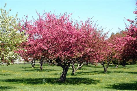 panoramio photo of crab apple tree in bloom at shelburne museum