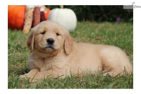 golden retrievers dallas golden retriever puppy for sale near lancaster pennsylvania eaddcd0c 7011