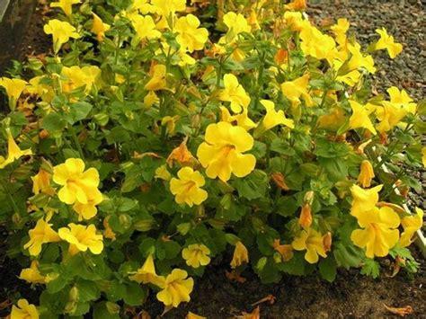 fiori di bach mimulus fiori di bach mimulus fiori di bach caratteristiche
