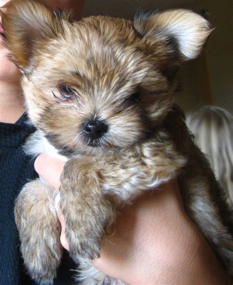 morkies wikipedia images morkies top 20 cutest dog breeds around the world