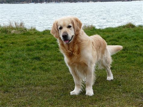 what are golden retrievers known for moneymagpie make money save money and more