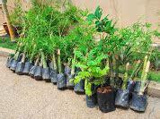 Benih Rambutan Gula Batu bumi hijau nursery 002279488 d benih durian musang king