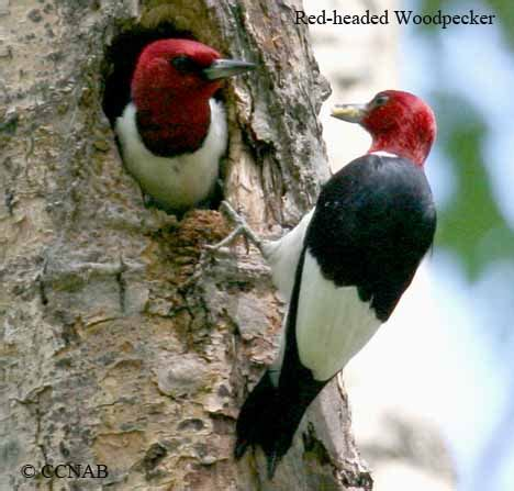 the not so complete birds afoul of america books headed woodpecker american birds birds of