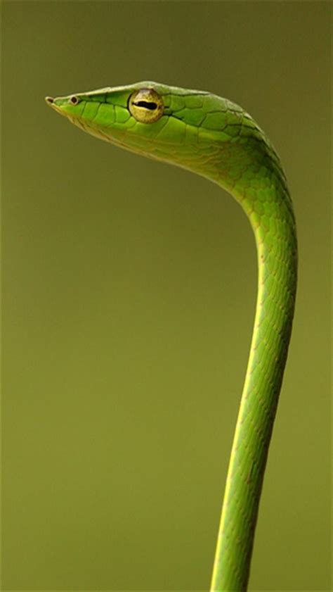 Green Garden Snake by Garden Snake Animal Iphone Wallpapers Iphone 5 S 4 S 3g Wallpapers