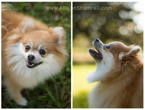 fawn pomeranian a pomeranian named molly san diego pet photographer allison shamrell the