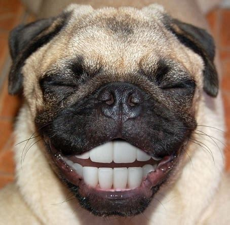 where can i find a pug puppy pug smiling pugs photoshopped lol left out feelings and dental