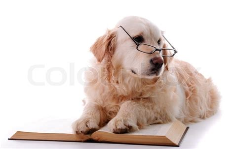 golden retriever reading golden retriever puppy isolated on white background and reading book stock photo