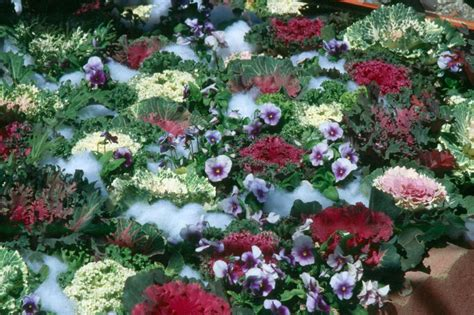 exle winter gardens plant flowering kale cabbage in cool season mississippi