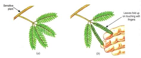 tropic movements in plants image gallery nastic movement
