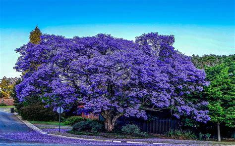 Maple Tree Nursery by Jacaranda Tree For Sale North Fort Myers