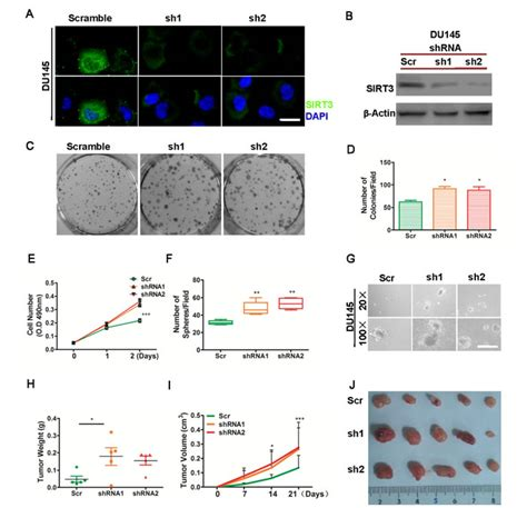 bcas2 promotes prostate cancer cells proliferation by oncotarget sirt3 inhibits prostate cancer by