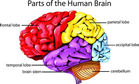 brain diagram quiz the human brain diagram quiz choice image how to guide