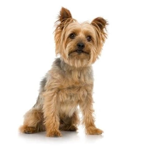 difference between yorkie and silky terrier yorkie silky terrier differences breeds picture
