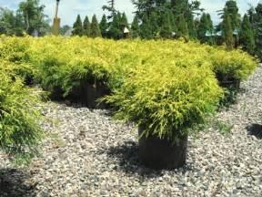 gold thread cypress yellow green evergreen shrub grows up to 4 diameter garden shrub ideas