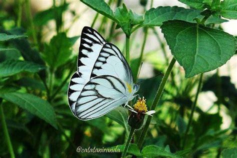 gambar kupu kupu cantik  indah hitam putih info