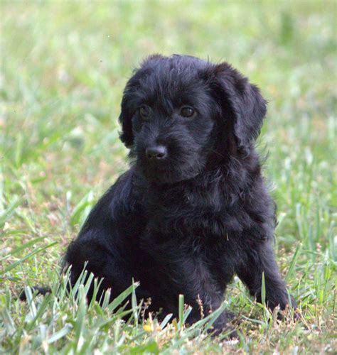 labradoodle puppies for sale in ga puppies for sale labradoodle miniature labradoodles f category in