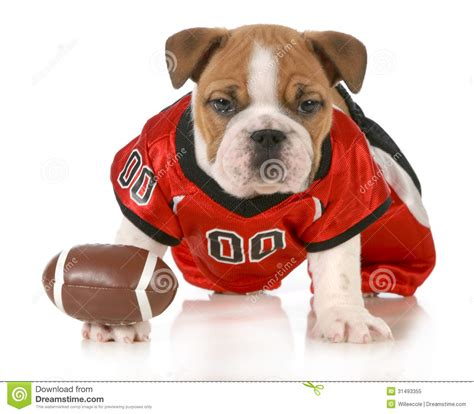 puppy football football royalty free stock photo image 31493355